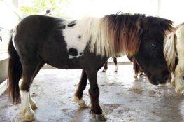 Dwarf-Shetland-Horse